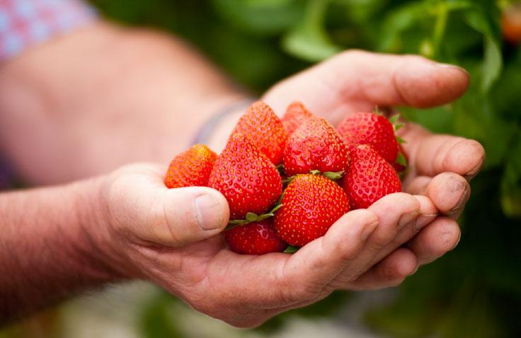 fraises françaises