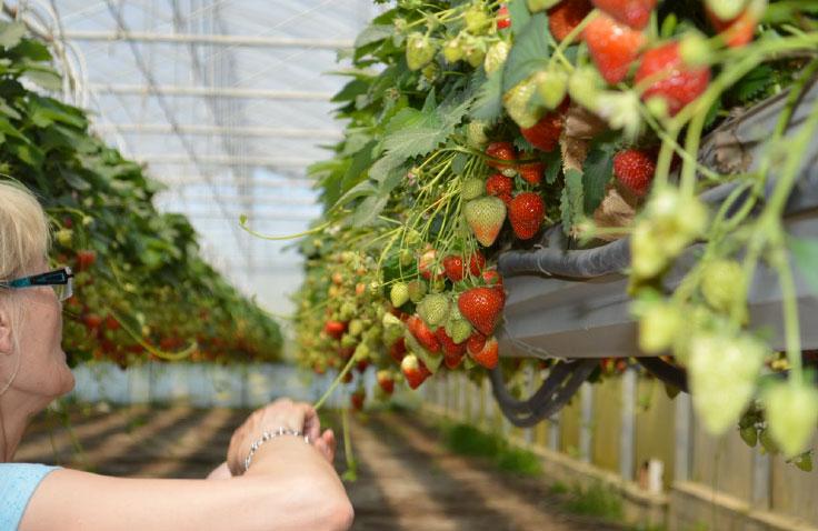 production fraises françaises