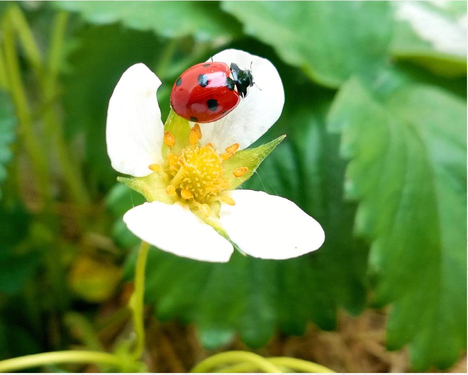 fleur fraise coccinelle